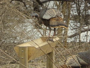 turkey in deer feeder at Applewood